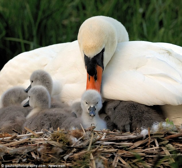 Swanning around on the river  Intimate photos show the Queen's birds looking after their young cygnets     1