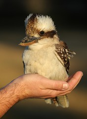 Laughing Kookaburra (Dacelo novaeguineae) (Vanessa Mylett) Tags: brown bird face laughing wings wing beak australia queensland kookaburra 70200mm plumage dacelonovaeguineae eyestripe canon7d