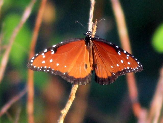 Queen butterfly 20110721