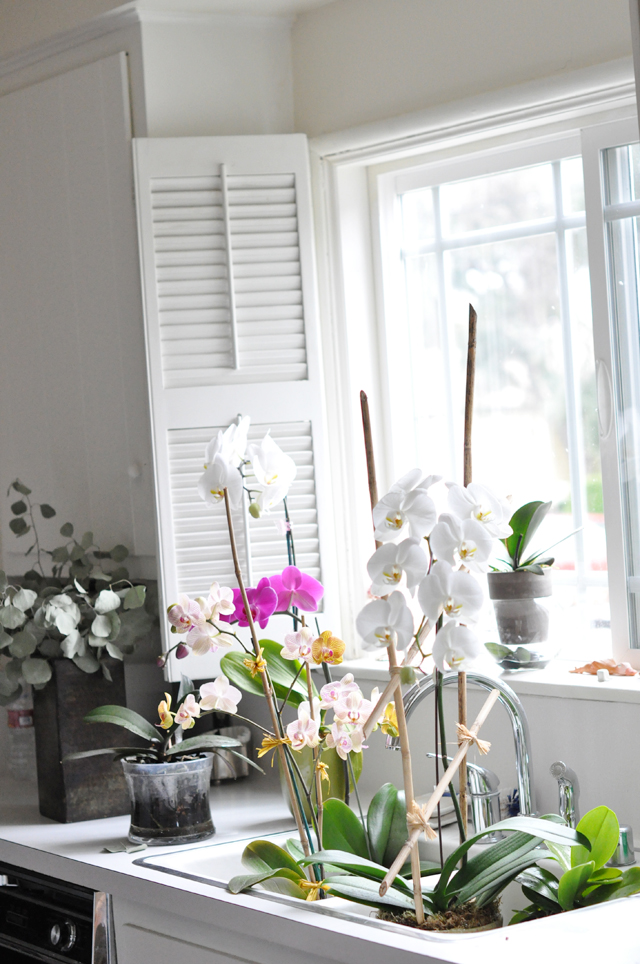 my kitchen window orchids in the sink soaking
