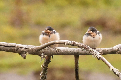 Barn Swallow Juveniles