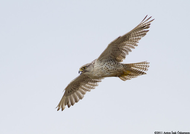 Fálki / Gyrfalcon / Falco rusticolus