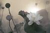 Lotus Flower - IMG_0429-1-1000 (Bahman Farzad) Tags: flower macro yoga peace lotus relaxing peaceful meditation therapy lotusflower lotuspetal lotuspetals lotusflowerpetals lotusflowerpetal