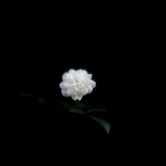 Rose that blooms in the dark (Saraia77(Very slowly....)) Tags: plant flower color film nature japan zeiss mediumformat square one kodak dream hasselblad squareformat osaka dreamy planar carlzeiss portra160nc closeuplens 66 carlzeissplanar planar8028 6elements flowersmacroworld