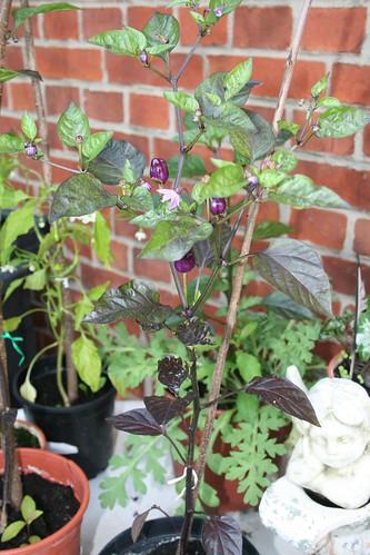 Unbekannte lila Chili