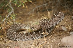 Go away! (MROEDEL) Tags: madrid danger reptile snake posed scales strike posture defensive cerrillos upset crotalus rattles westerndiamondback rogersville roedel
