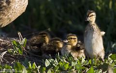 Mallards (Bob Stronck) Tags: ducklings mallard hen anasplatyrhynchos redwoodshores radioroad cityofredwoodcity ©rmstronck stronckphotocom birdsofsanfranciscobay