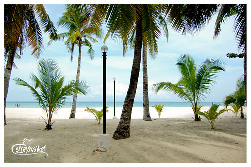 coconut trees at kota
