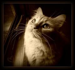 Love (ZoeTaylor) Tags: light closeup sepia cat eyes feline close heart kitty whiskers picnik dooe