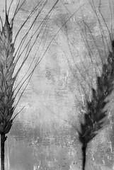 Ähren (Martin.Matyas) Tags: flowers blackandwhite bw plant black flower texture canon austria blackwhite flora sommer jahreszeit landwirtschaft natur pflanze pflanzen feld seed blumen canonef50mmf18 seeds crop land sw yield blume schwarzweiss blüte korn wort kornblume schönheit ernte kornfeld hintergrund harvesting foral gerste schön textur ähre outcrops nonfood wachsen eos400d ackerland emblements feldfrucht arablecrop schwarzweissfoto foragecrop saatgut kornähren foragecrops commonplant getreidesaison essenkorn ährenkorn ackerfrucht growingcrops agrargüter