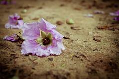 Strange Deja Vu (Shutterfreak ☮) Tags: flower floral nikon artistic ground textures dirt fallen conceptual bangladesh dejavu memoir lyrical