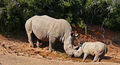 Whose thirsty? (missnoma) Tags: travel holiday nature southafrica rhino rhinoceros gamepark wildanimals shamwari whiterhinoceros suidafrika wyd mumbub virtualjourney magicunicornverybest