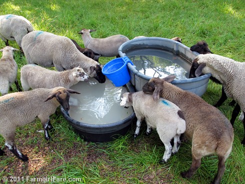 ewes and lambs drinking from water tanks with diataomaceous earth to keep down algae - FarmgirlFare.com