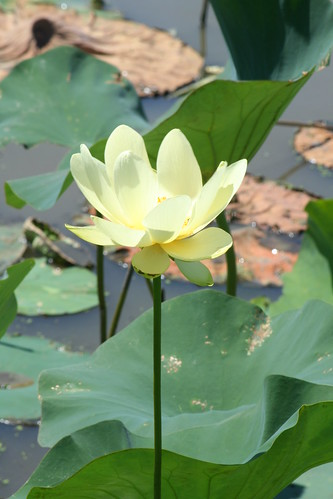 Water Lily at Baker Wetland by pdecell