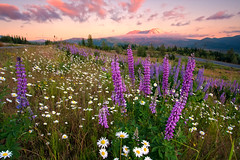 Places of Spring (Blue Hour) Tags: pink flowers sunset mountain green grass clouds washington spring mt purple mount daisy wa sthelens