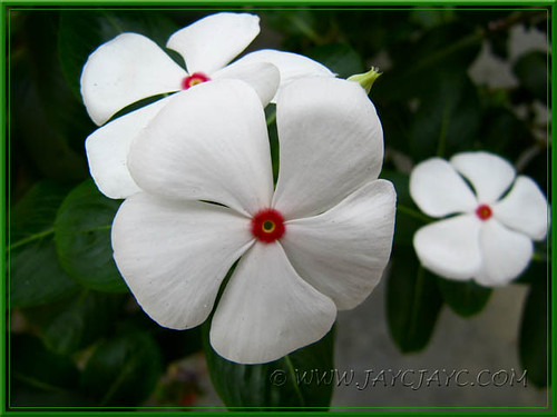 Catharanthus roseus 'Albus' (Madagascar/Cape Periwinkle, Vinca) at our garden bed, July 22 2011