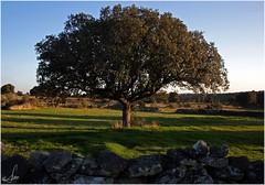 Una encina solitaria (Ana_Lobo) Tags: naturaleza tree sol nature landscape paisaje rbol zamora holmoak encina quercusilex azinheira canon450d