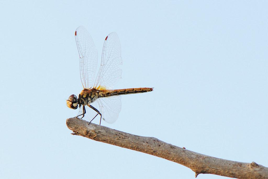 猩紅蜻蜓(雌) Crocothemis servilia servilia