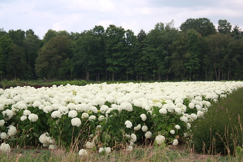 Field of Hydrangeas