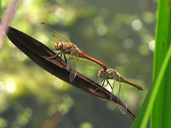 Making love in broad daylight (Wilma1962*) Tags: male female dragonfly bokeh mating libelle mannetje vrouwtje paren steenrodeheidelibel vagrantdarter mygearandme mygearandmepremium mygearandmebronze mygearandmesilver mygearandmegold mygearandmeplatinum mygearandmediamond