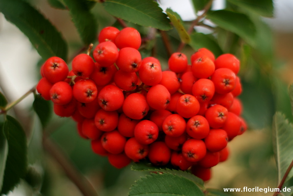Eberesche (Sorbus)