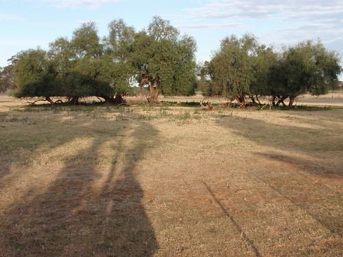 Greendale trees
