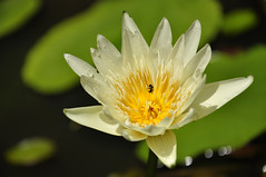 water lily and bee [explored] (e.nhan) Tags: life light white flower art nature water leaves closeup dof lily bokeh backlighting enhan