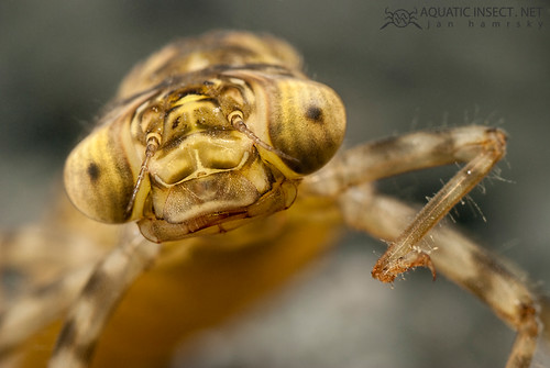 Darner Dragonfly larvae