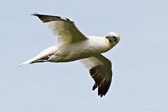 Gannet (Morus bassanus) (Richard Nicoll) Tags: uk fly flying flight shetland gannet northerngannet morusbassanus headturn