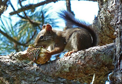 Snackin' (junglejims photos) Tags: nature squirrel zoom idaho pinecone lesser cataldo coeurdaleneriver enanville