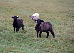 Sheep 201: Internal parasite (worm) control