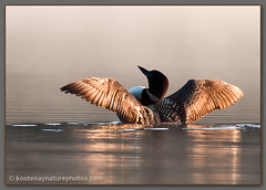 Common Loon (kootenaynaturephotos.com) Tags: birds bc loon commonloon gaviaimmer eastkootenay avianexcellence bestcapturesaoi elitegalleryaoi dblringexcellence tplringexcellence eltringexcellence
