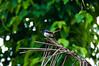 Free Like a Bird (Snaps By Samir Tushar) Tags: plant money tree bird nature climb village bangladesh doel pakhi
