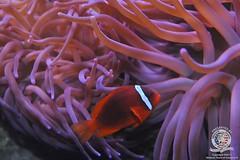 Clown fish-3