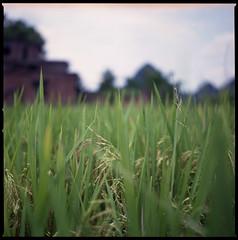rice rice rice (beetabonk) Tags: china 120 6x6 mediumformat square guilin yangshuo 中国 guangxi 桂林 阳朔 hasselblad500cm 广西 fujipro160s carlzeisstplanar2880cf cnyshb80160s0811021