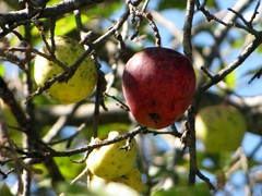 Apples on the Tree (BlueRidgeKitties) Tags: plant apple fruit backyard botany malus rosaceae pome malusdomestica ccbyncsa canonpowershotsx10is