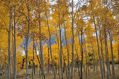 Autumn in Colorado (Snap Man) Tags: aspen autumn colorado aspens gilpincounty rockymountains colors trees peaktopeak highway