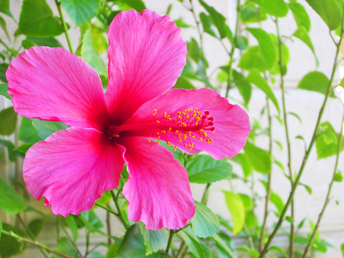 Hot Pink Hibiscus