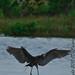 Wading Blue Heron_MG_4598