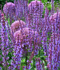 Feeling Mauve (Louise and Colin) Tags: uk flowers blue english beautiful garden sussex intense purple britain national round salvia trust mauve british blooms lovely globes allium spikes extraordinary walledgarden surprising wakehurstplace ardingly westsussexengland salviaxsylvestrisinugo