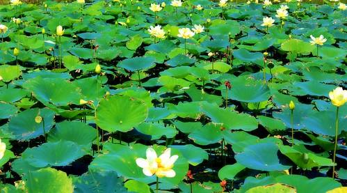 Lilypad Pond2