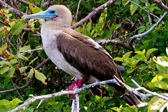 Red-Footed Booby -  Roodpootgent (Rita Willaert) Tags: southamerica ecuador pacificocean equator redfootedbooby zuidamerika galapagosislands bigocean genovesaisland princephilipsteps groteoceaan lavalandscape stilleoceaan roodpootgent deevenaar islagnovesa