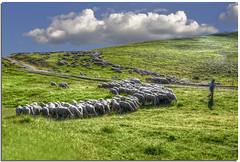 Flock on Flickr (Nespyxel) Tags: landscape sheep shepherd flock hdr pecore pastore castelluccio gregge nespyxel stefanoscarselli