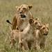 Os leoes cacam cooperativamente