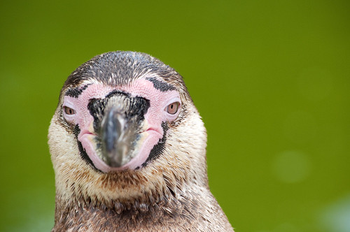 portrait of a penguin 2 by endeavour73