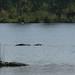Crocodilo, hipo e elefantes em uma so foto