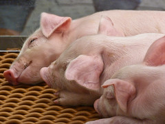 Happily fed, sleeping piglets (annkelliott) Tags: pink sleeping canada cute calgary animals lumix pig three domestic alberta pointandshoot trio piglet domesticated calgarystampede huddled stampedegrounds southernalberta beautifulexpression annkelliott 3of11 dmcfz40 fz40 panasonicdmcfz40 p1110923fz40