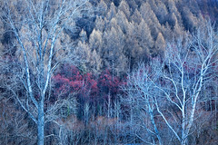 Arrowtown Forest II (rgarrigus) Tags: trees newzealand forest landscape pines otago willows arrowriver arrowtown poplars greatphotographers garrigus robertgarrigus robertgarrigusphotography
