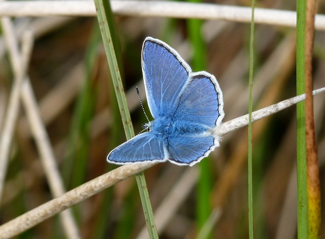 24561 - Common Blue, Isle of Mull