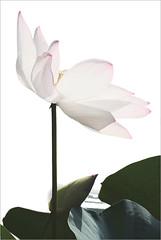 Lotus Flower - IMG_0093-800 (Bahman Farzad) Tags: flower macro yoga peace lotus relaxing peaceful meditation therapy lotusflower lotuspetal lotuspetals lotusflowerpetals lotusflowerpetal